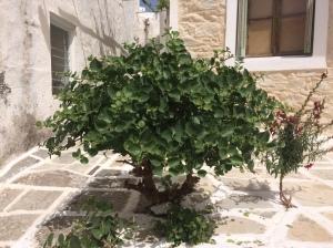 Paros - caper tree
